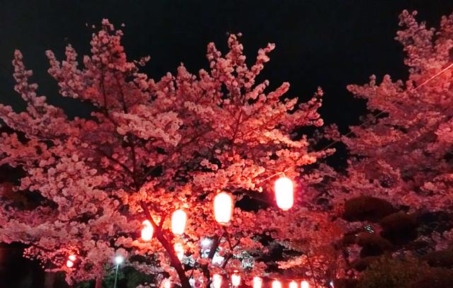 五月山公園 夜桜