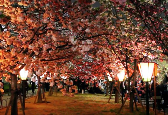 造幣局通り抜け 夜桜