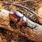 カブトムシ飼育中のコバエ駆除