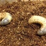 カブトムシ幼虫が土の上に出てきた