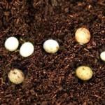 カブトムシの卵の飼育方法